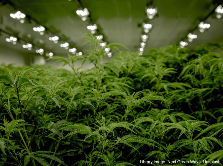 BMW stop in Dartford leads to discovery of cannabis cultivation in Chatham