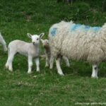 Dogs face death after livestock maimed in Kent attacks