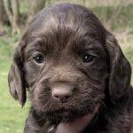 Spaniel puppies stolen from property in Denton near Hawkinge